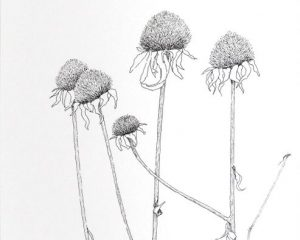 "Winter Cone Flowers, Ink, 14""x 11"""